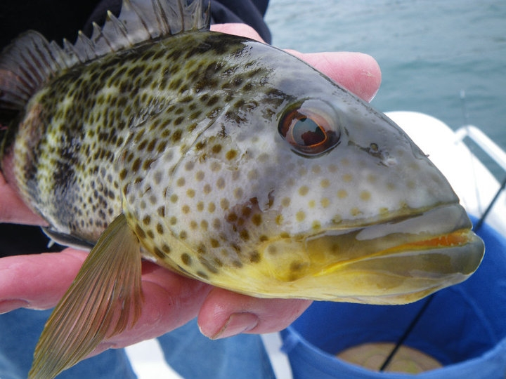Spotted Bay Bass Fly Fishing