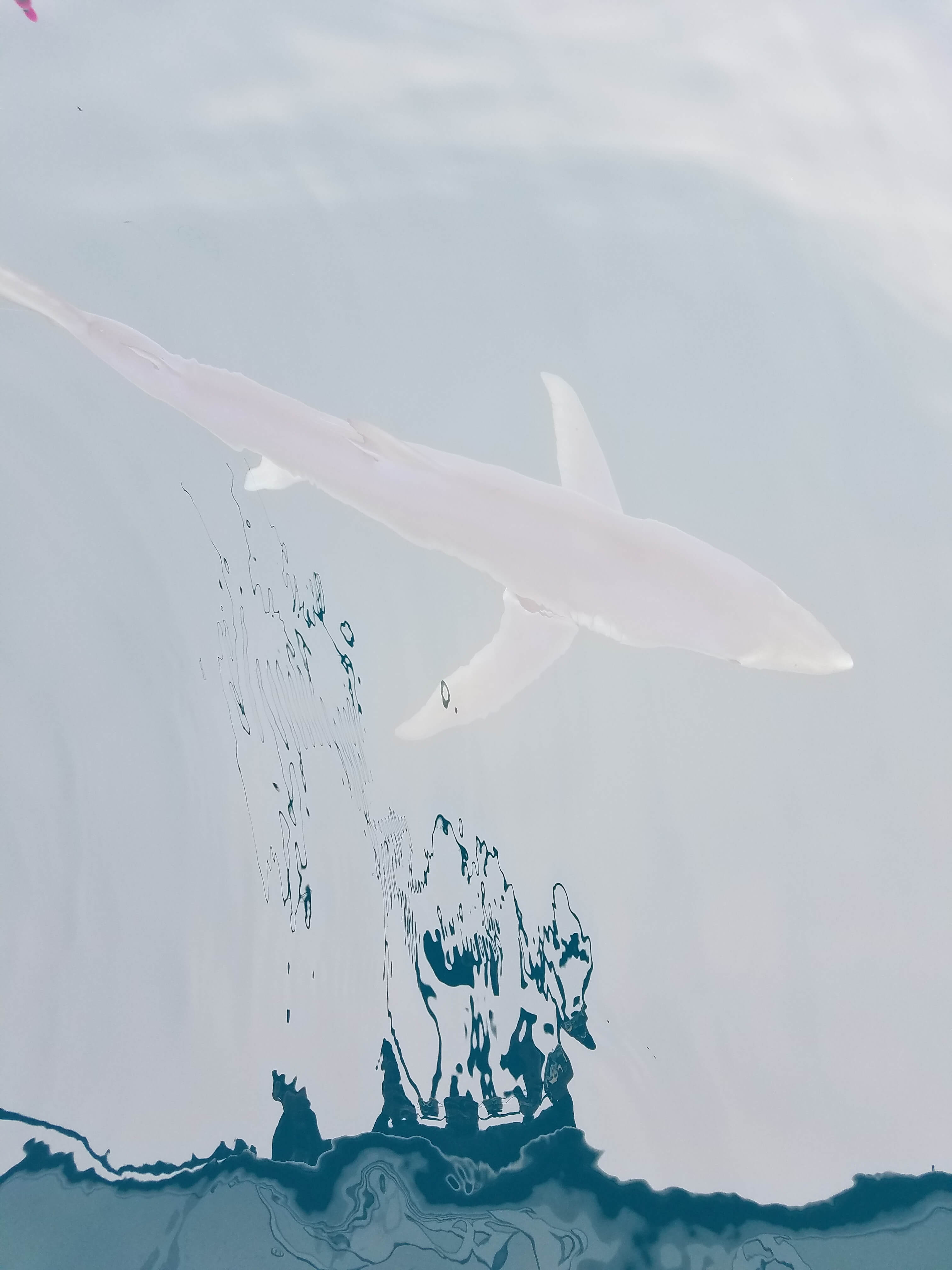 Shark Looking For A Meal