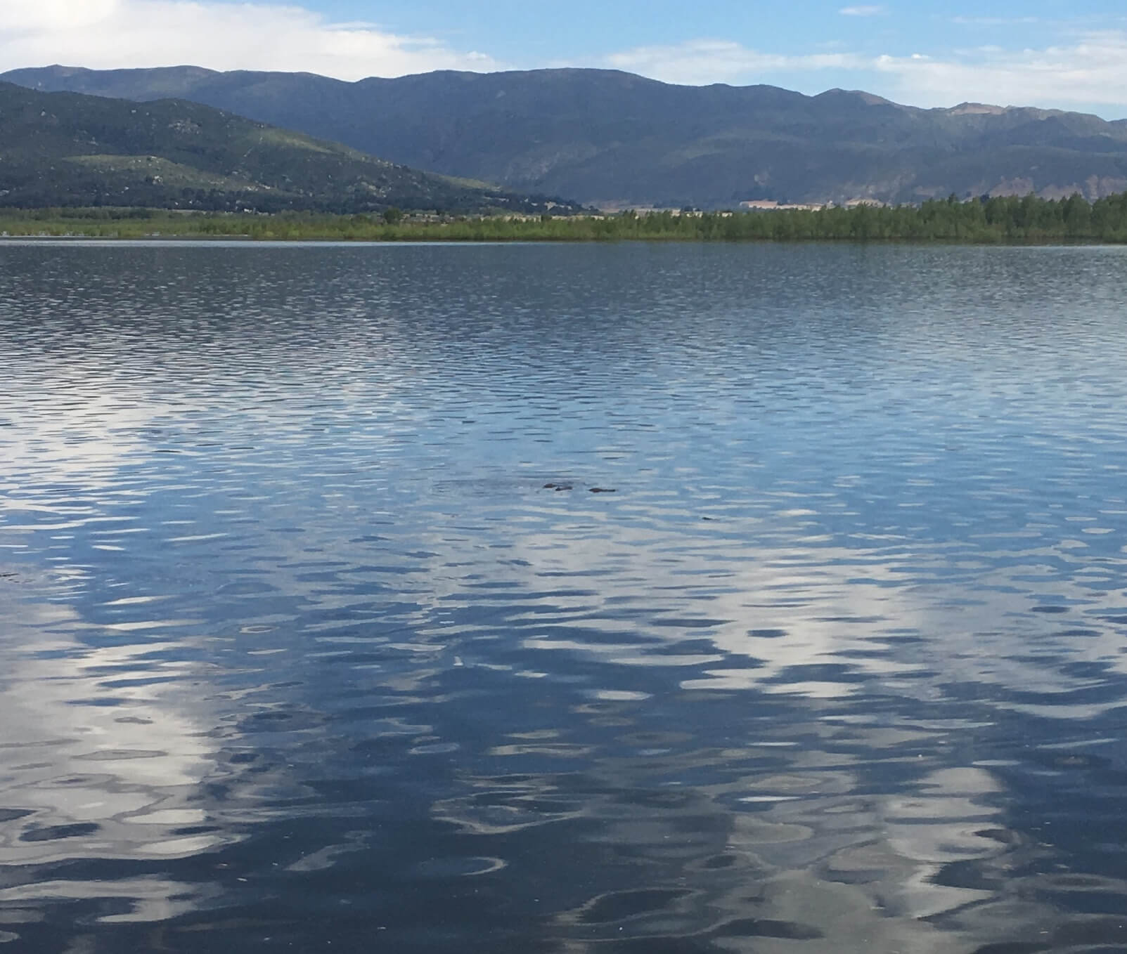 Carp-Surface-Feeding-Lake-Henshaw