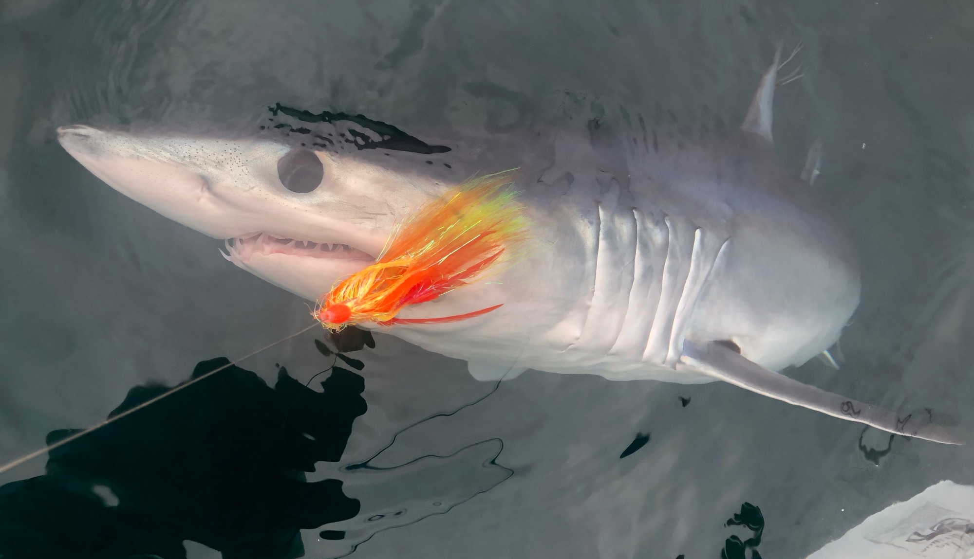 Mako Shark Fly fishing