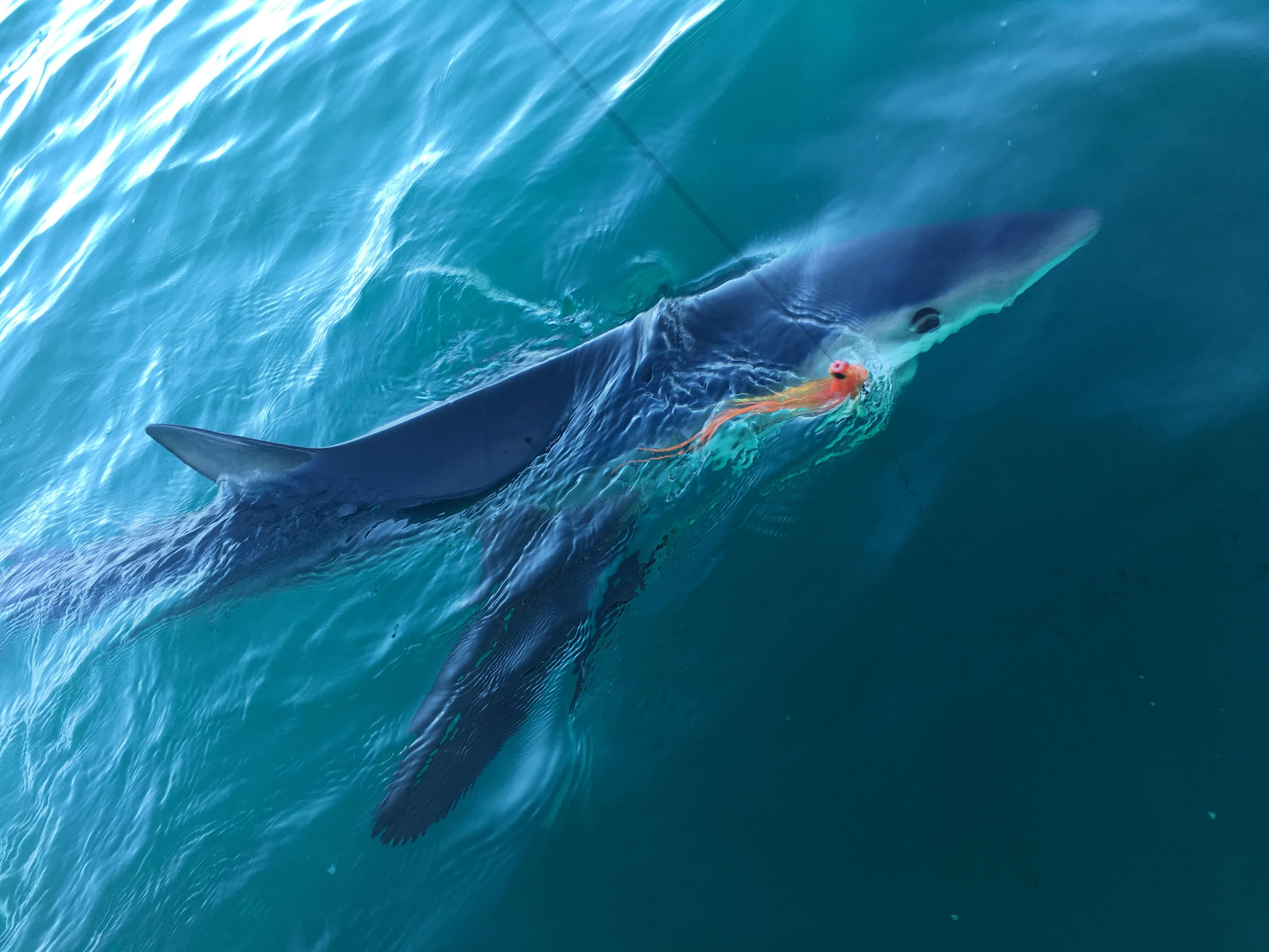 Blue-Shark-Fly-Fishing-California-Fun