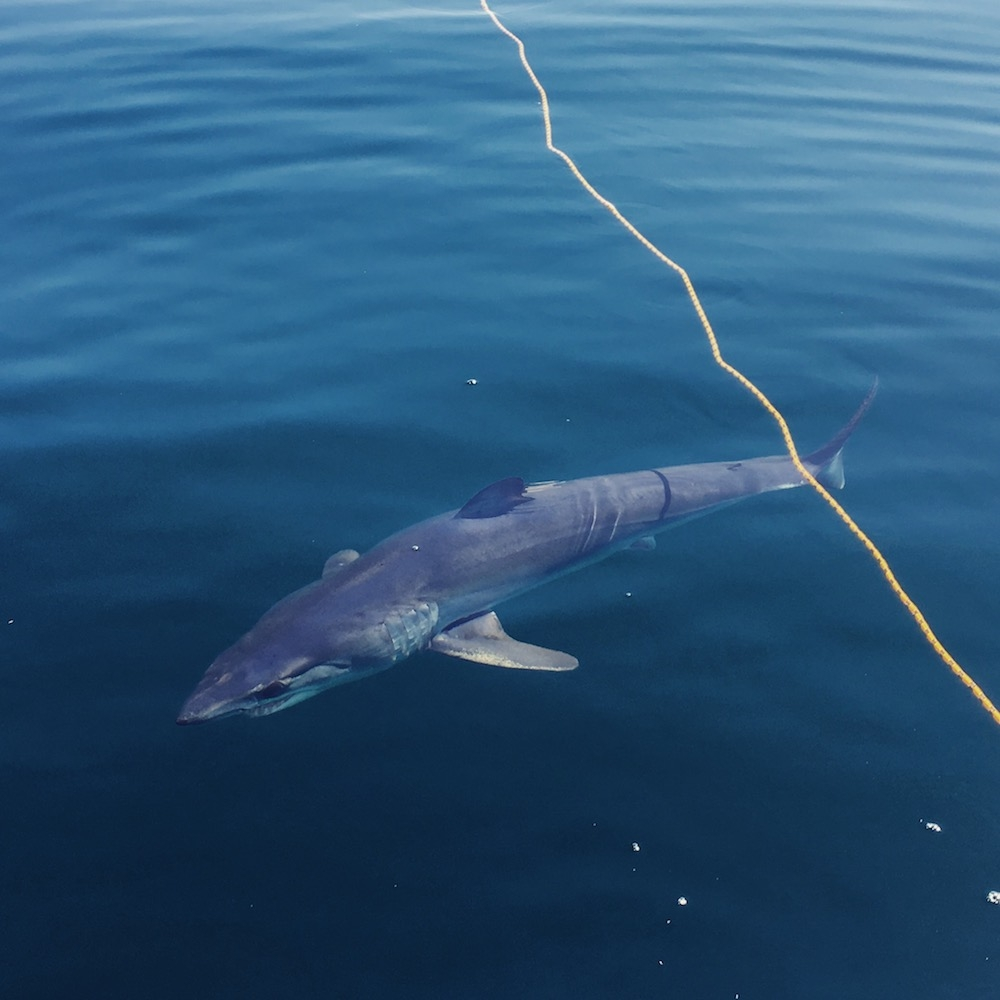 Mako-Shark-Fly-Fishing-San-Diego-California