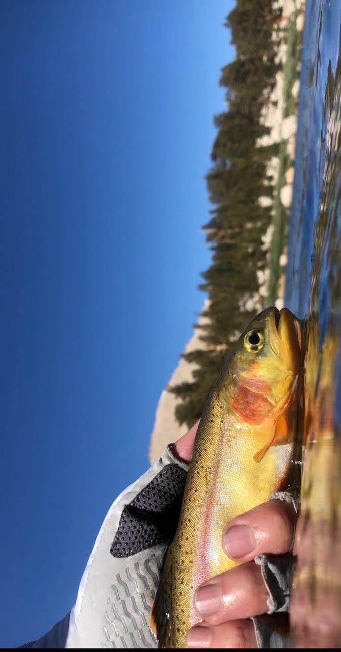 Golden-Trout-Close-up