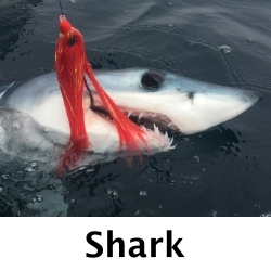 Mako-Shark-Fly-Fishing