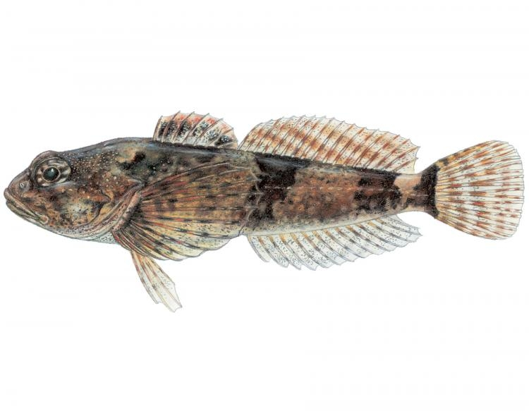 Barred sculpin