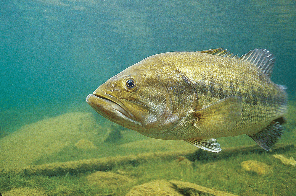 Underwater Largemouth