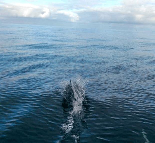 dophins-swiming-sandiego-ocean