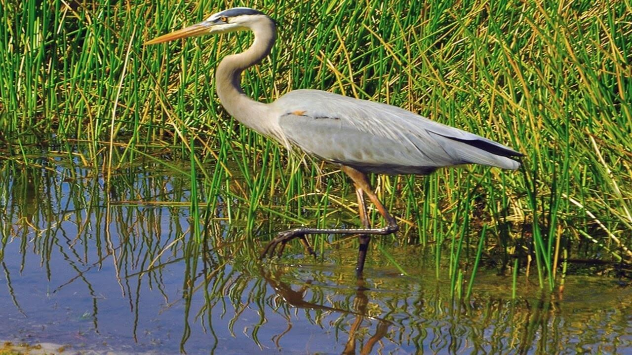 birds to look for heron
