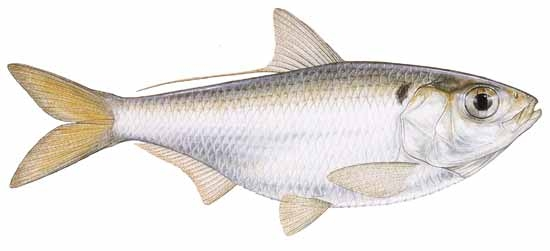 Thread fin shad